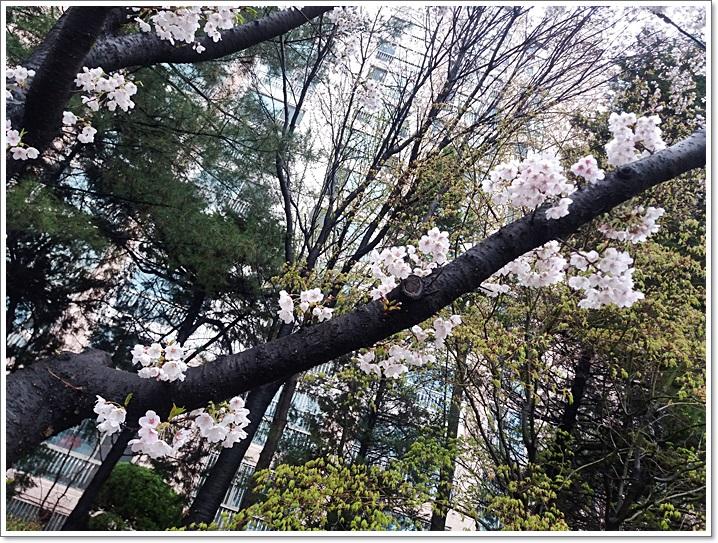 동네벚꽃8