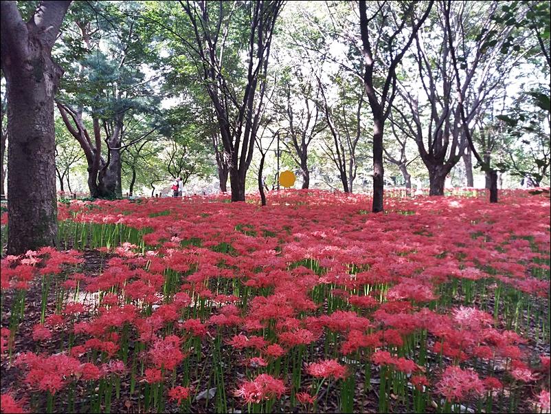 꽃무릇10