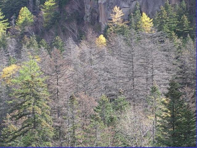 5.잦은지진과 가스로 나무고사.JPG
