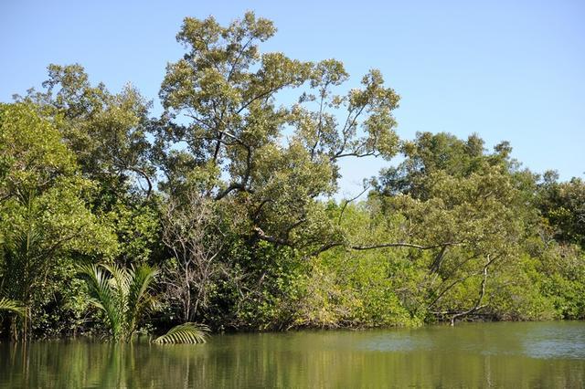 2.필리핀2강변의맹그로브숲308-3p.JPG