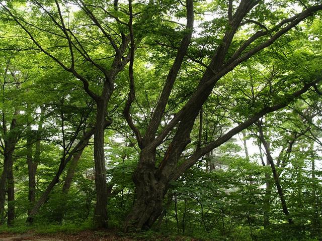 의령 서어나무.JPG