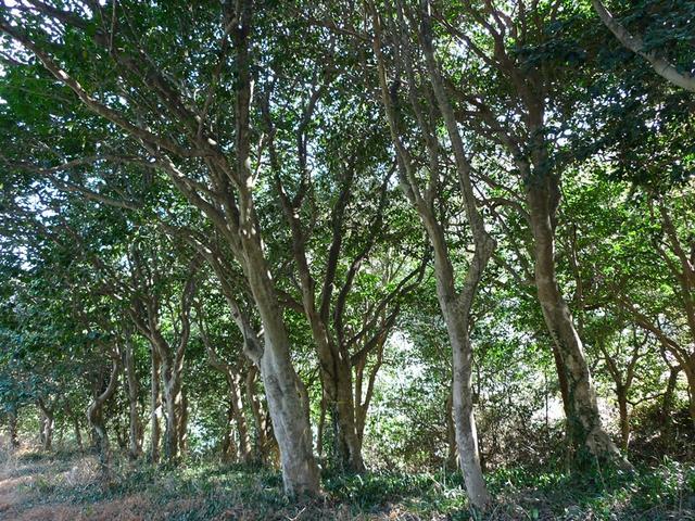 백련사 동백나무.JPG