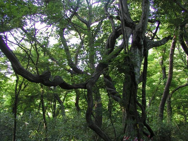 동래 범어사 등나무.JPG