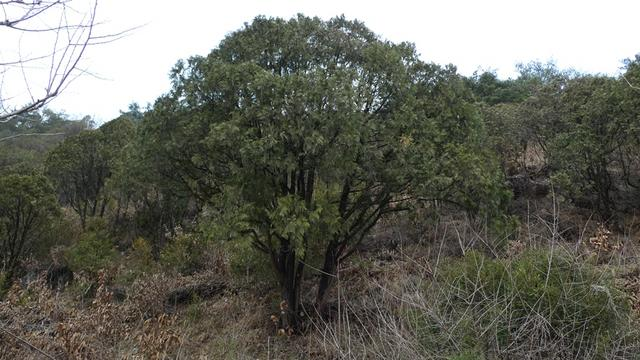 단양 측백나무.JPG