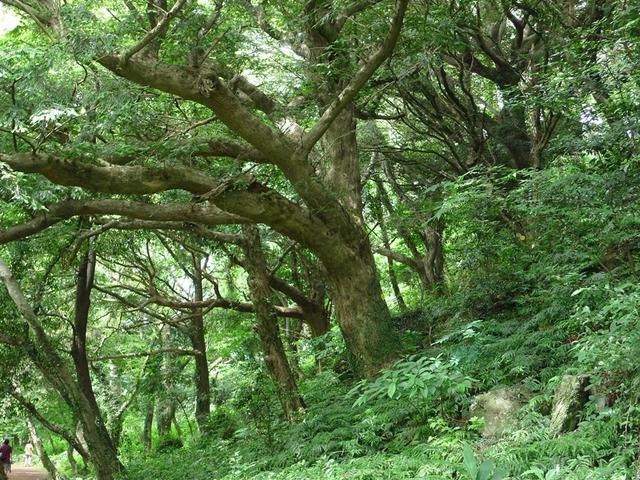 제주 비자나무숲.JPG