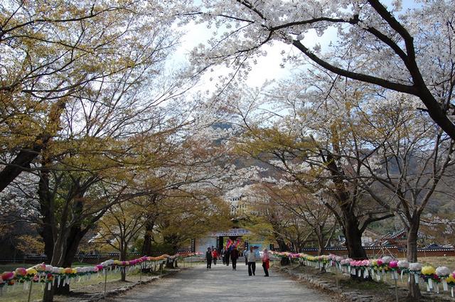 내소사 벚꽃길.JPG