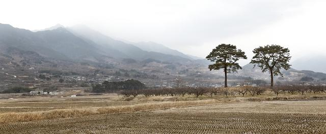 1.부부소나무.jpg