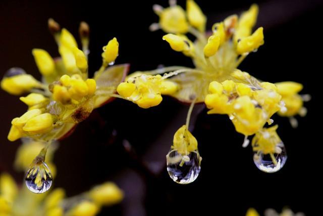 9.구례 산수유 꽃.jpg