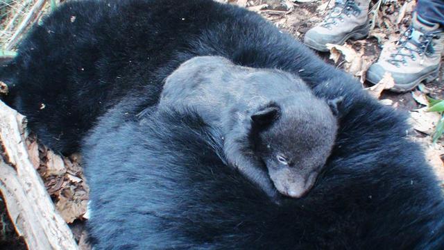 1.어미곰 위의 새끼곰.JPG