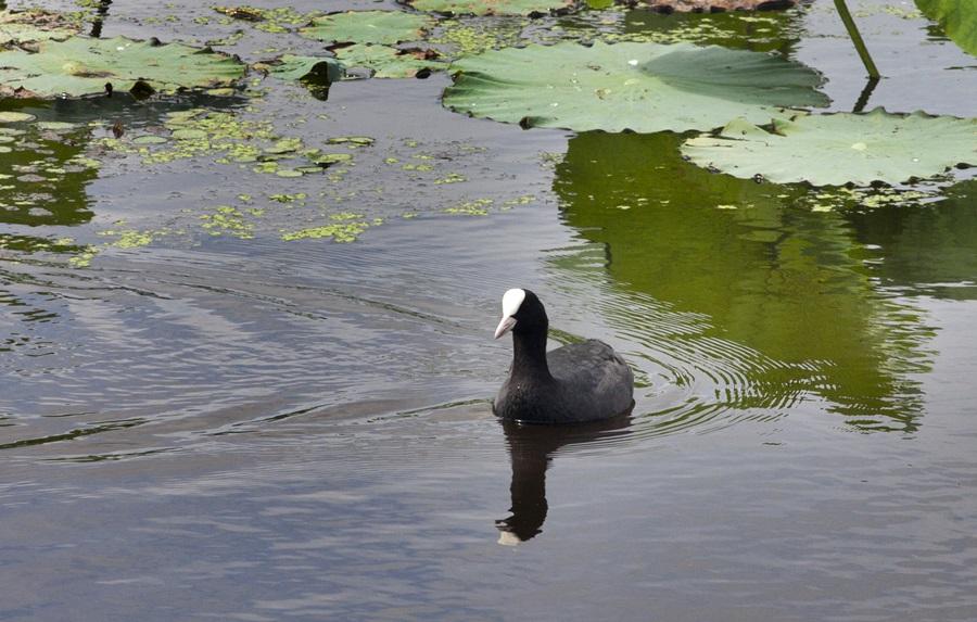멸종위기종인 물닭의 모습.