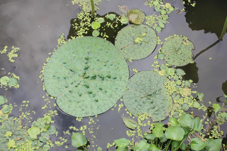 회산백련지에는 멸종위기종인 가시연꽃이 군락을 이뤄 학계에 관심을 끌고 있다.