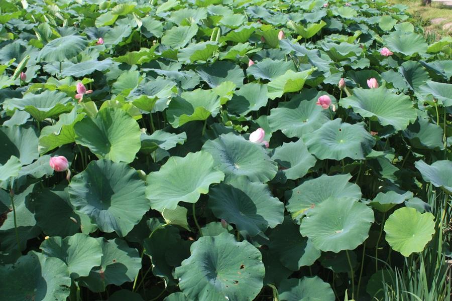 백련과 달리 홍련은 백련보다는 빨리 꽃이 피고 진다고 한다.