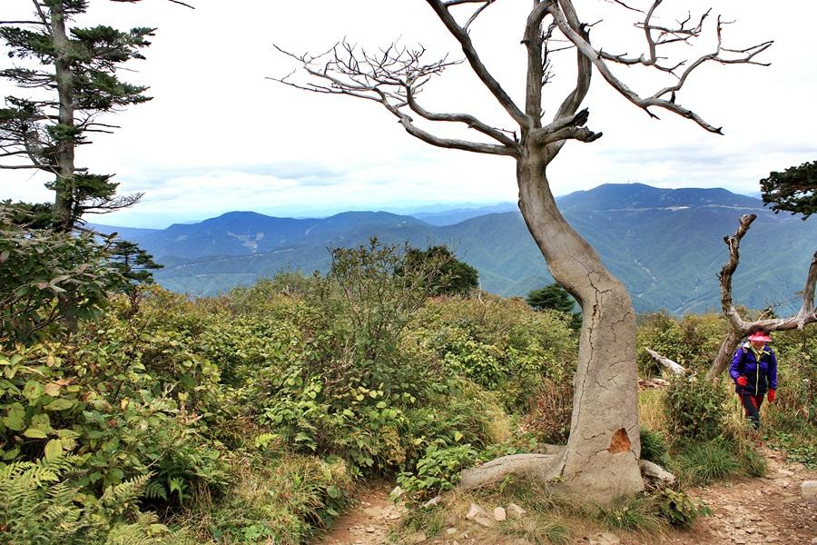 태백산 유일사에서 오르는 등산로에서 한 등산객이 천연보호수 주목 옆으로 지나고 있다.
