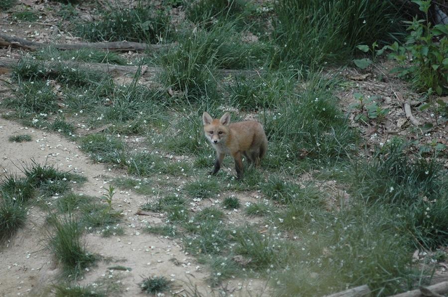 여우 새끼가 소백산 자연방사장에서 먹이를 찾기 위해 주변을 살피고 있다.
