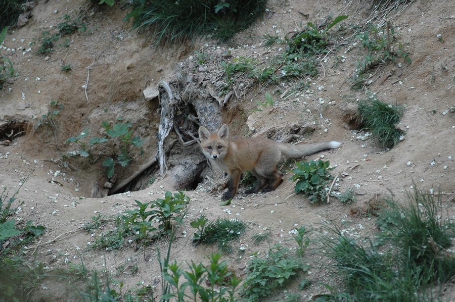 소백산 자연방사장의 여우가 토굴을 파고 자신의 몸을 보호하고 있다.