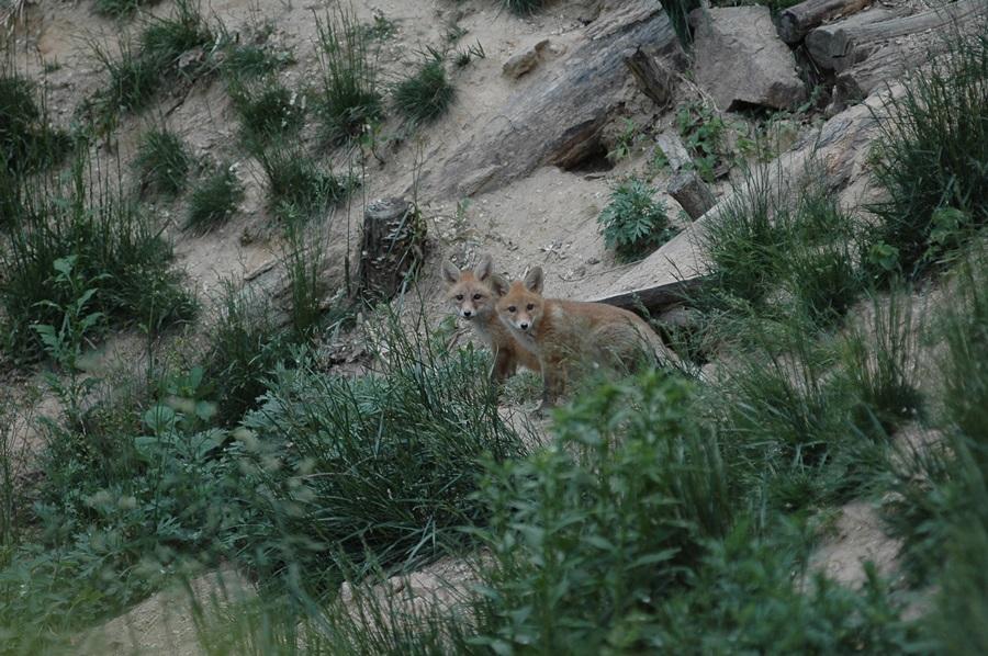 소백산 자연방사장에서 여우가 새끼 두 마리를 낳았다. 그 새끼들이 토굴 밖으로 나와 쳐다보고 있다.
