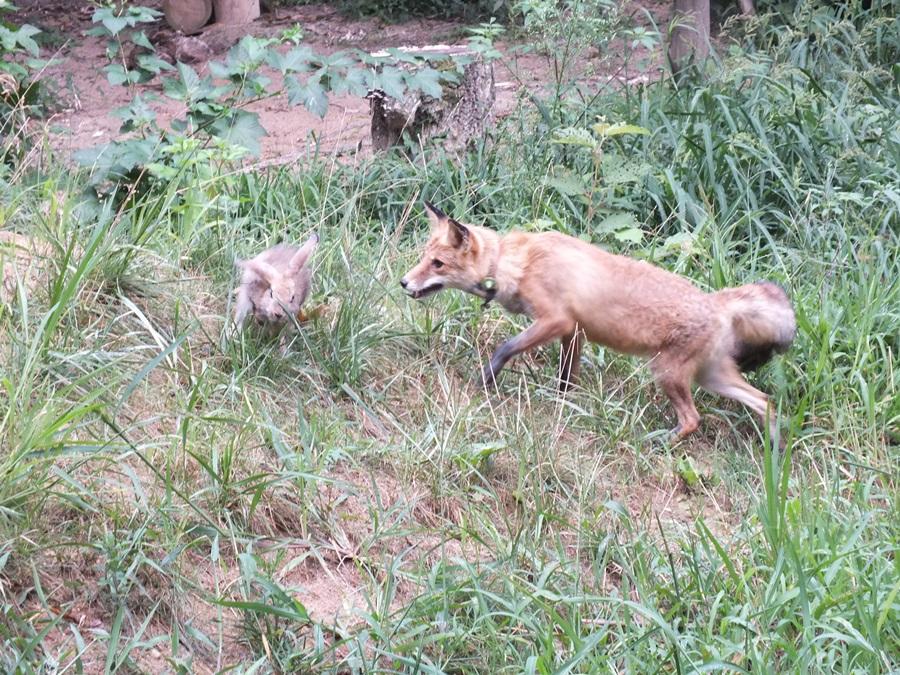 소백산 자연방사장에서 토끼를 사냥하고 있는 여우.