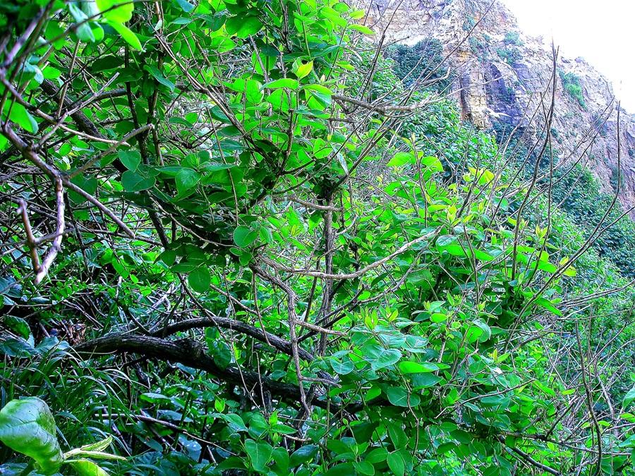 독도에서 자라고 있는 괴불나무 군락