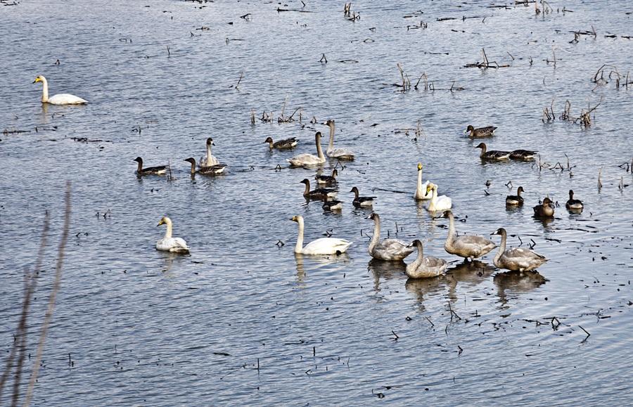 창녕 우포늪에 가면 모든 철새가 겨울의 아름다운 장면을 연출한다.
