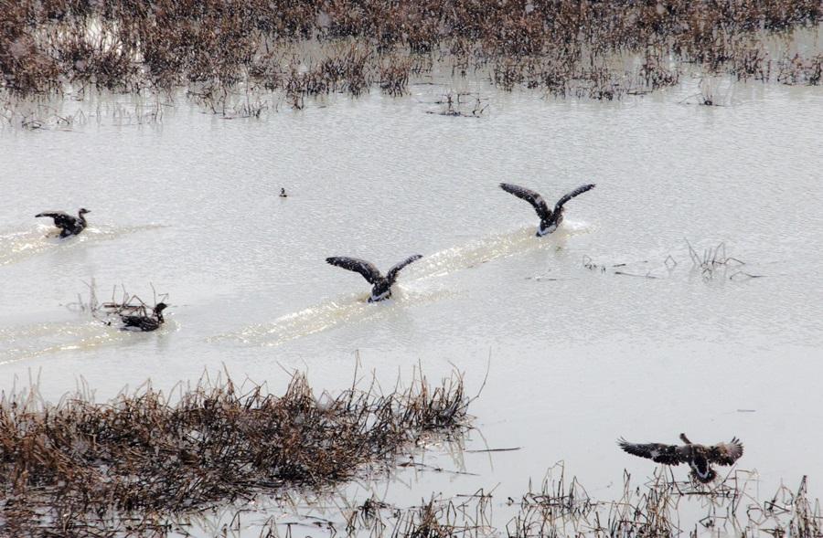 겨울 철새들이 우포늪 수면 위를 날며 날갯짓을 하고 있다.