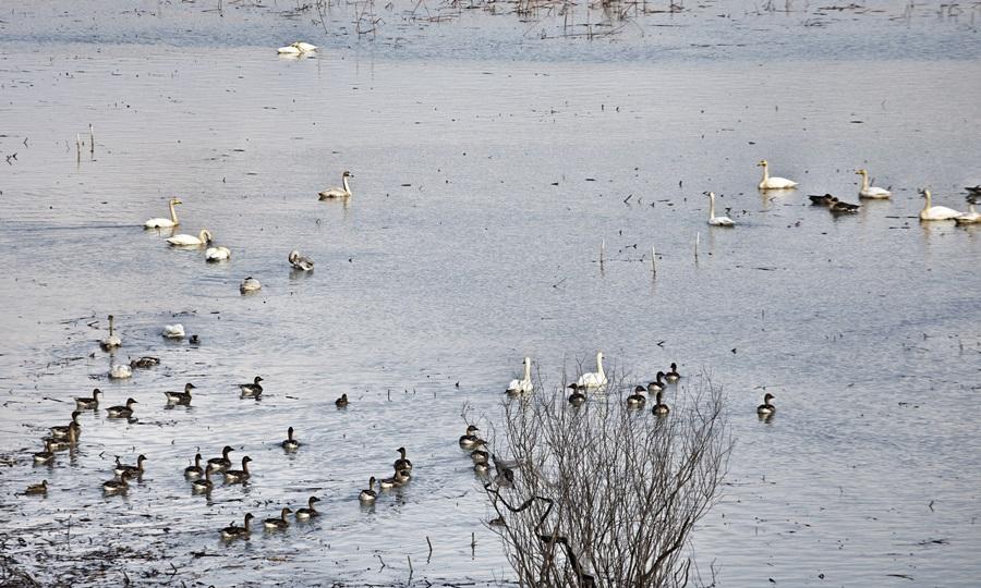 겨울철새들이 우포늪의 풍부한 먹이를 찾아 매년 수많은 철새들이 찾는다.