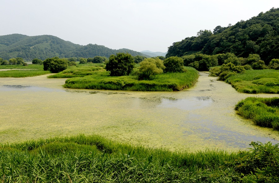환상적인 우포늪에서 서식하는 물풀을 포함한 수생식물들. 사진 창녕군청 제공