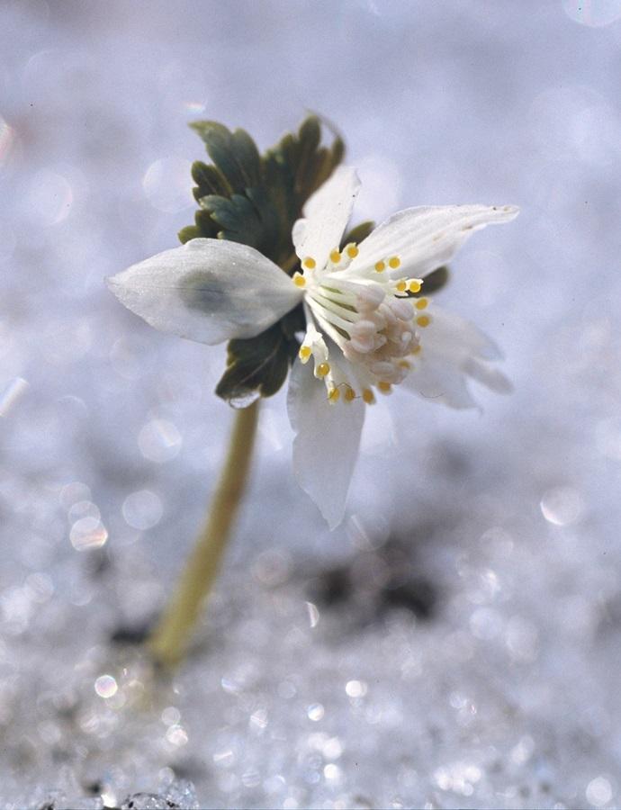 강원도 횡성에서 얼음을 뚫고 올라와 꽃을 피운 너도바람꽃.