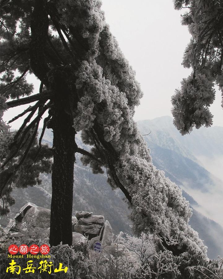 형산에 있는 남악을 상징하는 소나무. 일명 남악송이라 부른다.