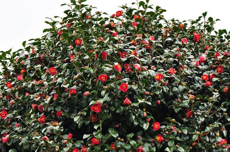 동백나무꽃이 활짝 피어 있다. 동백나무가 이산화탄소 흡수하는 양이 새롭게 밝혀져 화제다.
