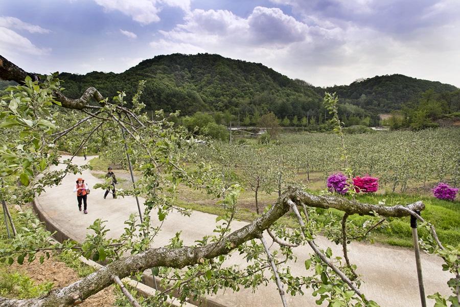 소백산자락길의 과수원길을 걷고 있다. 무려 6㎞이상 되는 길이 계속 사과밭으로 연결돼 있다.