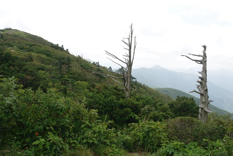 '살아 천년, 죽어 천년'의 별명을 가진 주목 두 그루가 구상나무 사이에서 고사목의 모습으로 우뚝 솟아 있다.