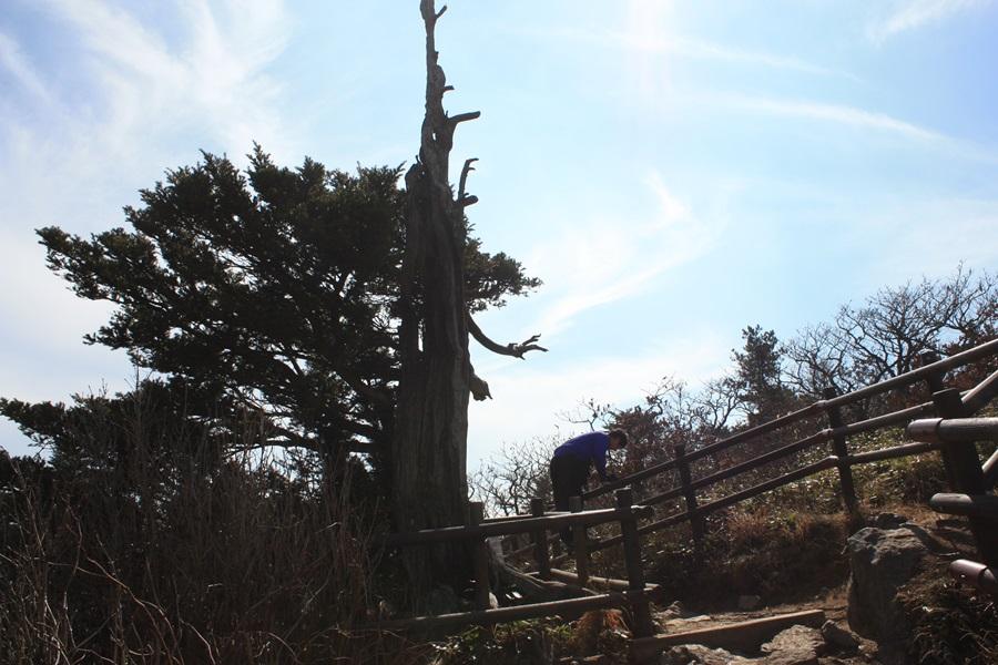 향적봉 인근에 주목과 구상나무가 군락을 이루고 있다.