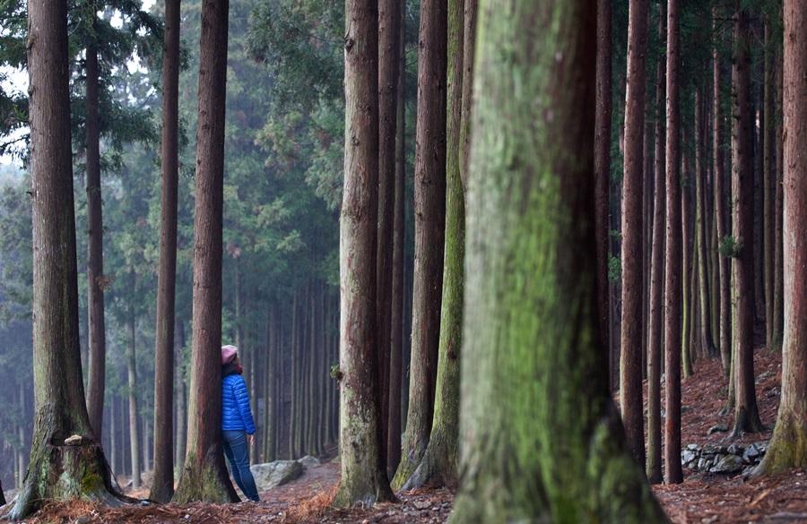장성 축령산은 한국 최고의 편백나무숲에서 뿜어져 나오는 피톤치드로 전국에서 가장 많은 사람이 찾는 숲으로 알려져 있다.