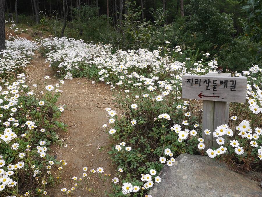 9월 하순인 지금 구절초가 만발해 진한 향기를 내뿜고 있다.