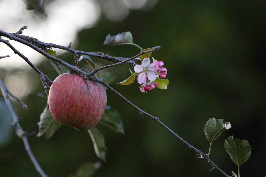 서어나무숲 옆 사과나무밭에서 한쪽 가지는 사과를 맺었는데, 다른 가지에서는 철 모르게 사과꽃을 피우고 있다. 사과나무의 실화상봉수.