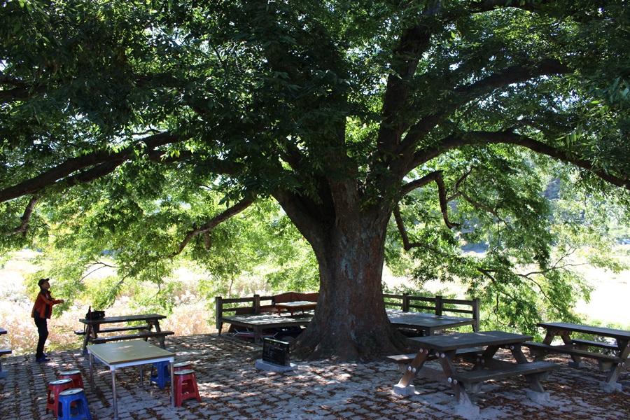 지리산둘레길 주천에서 출발하면 구룡폭포를 거쳐 순환코스로 원점회귀 할 수 있는 중간지점인 정자나무쉼터에 300여년 된 느티나무가 있다.
