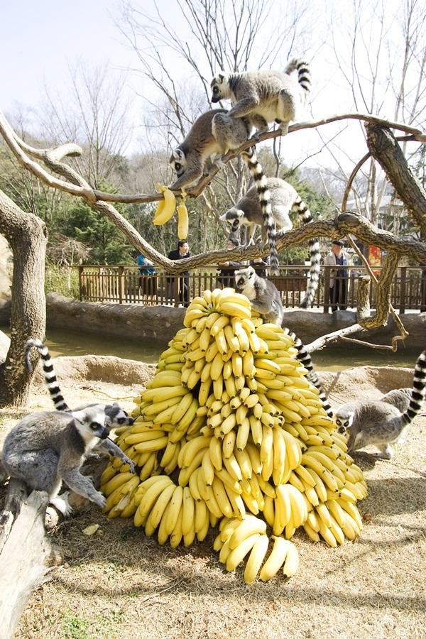 바나나 탑'을 맛있게 즐기는 알락꼬리여우원숭이들.