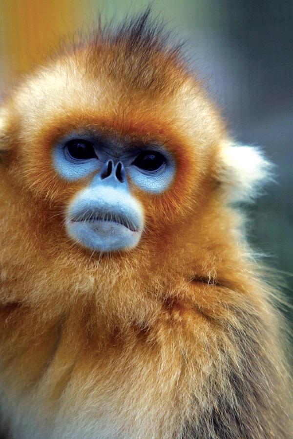 손오공의 후예로 알려져 있는 황금원숭이의 모습.
