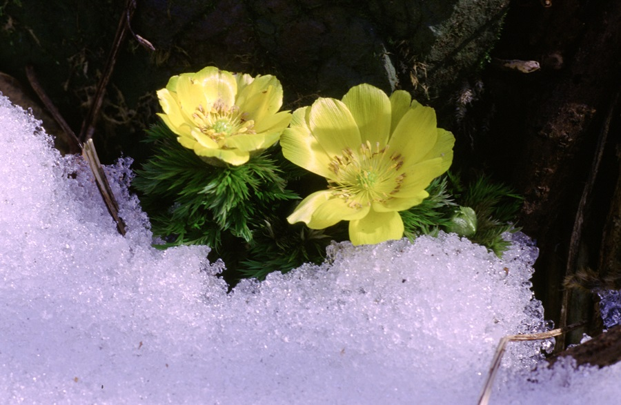 얼음을 뚫고 올라온 세복수초가 노란꽃을 피워 더욱 아름답고 강인하게 보인다.