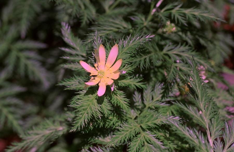 은빛복수초는 색깔부터 세복수초와 다르다.