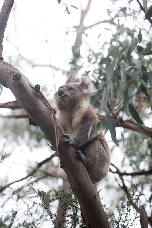 유칼립투스 나무잎을 먹고 사는 코알라도 호주 고유종 중의 하나다. 이도 지금 보호종으로 보호받고 있다.