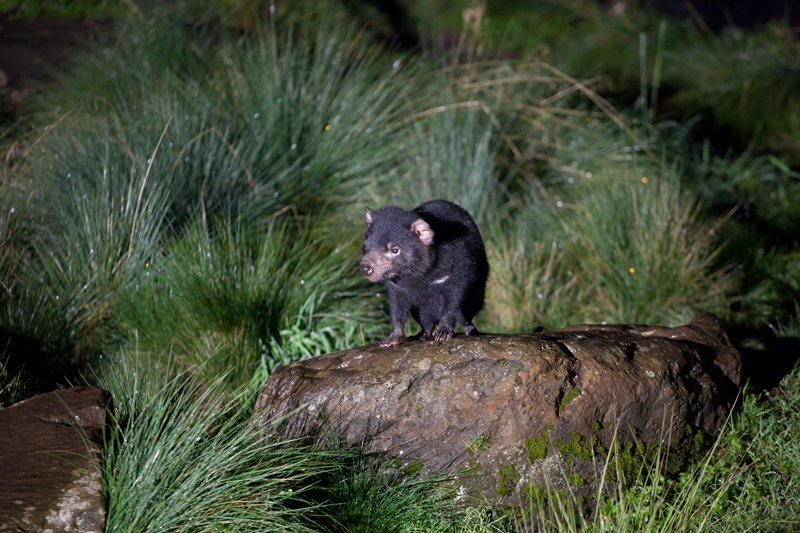 호주 고유종으로 알려져 있으며 야행성인 웜뱃.