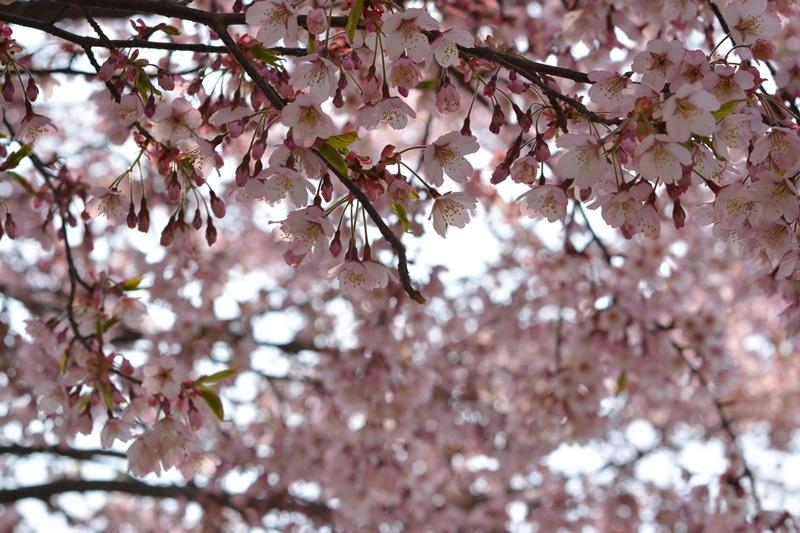 벚꽃도 장관이다.