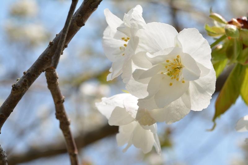 천리포수목원은 국내 최다 목련류도 보유하고 있다. 봄에는 목련의 화려한 모습에 입을 다물지 못할 정도다.