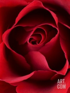 clive-nichols-close-up-view-of-red-rose_i-G-61-6162-UEVG100Z