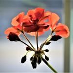 geranium 4