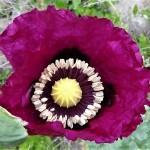 Poppy, 2021-04-21, 1-2