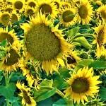 Sunflower 4, 07-12-2019