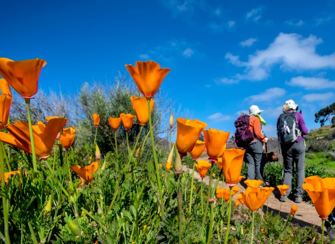 Hikers and a trail runner make their way past blooming California poppies along the Old Weir Canyon Trail in Santiago Oaks Regional Park in Anaheim Hills on Wednesday morning, February 27, 2019. (Photo by Mark Rightmire, Orange County Register/SCNG)